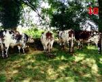 10_normandy-cows