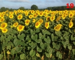 19_sunflowers-exireuil