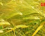 18_barley-nouvelle-aquitaine