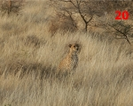 20_cheetah-in-samburu-kenya