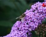 42_bee-on-a-budlea-bush