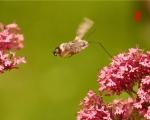 02_hummingbird-moth