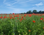 07_poppies-at-cricqueville-en-bessin-in-calvados