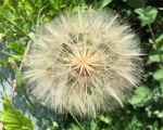 21_thistle-head-at-saivres
