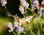 24_swallowtail-butterfly