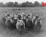 25_sheep-at-souches