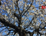 31_cherry-tree-in-flower-in-gourge