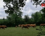 33_parthenay-cows-at-louin