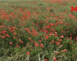 34_poppies-between-assais-les-jumeaux-and-gourge