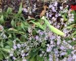 39_praying-mantis-on-sea-lavender