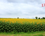 17-scille-sunflowers