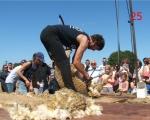 25-sheepshearing-in-mazieres-en-gatine